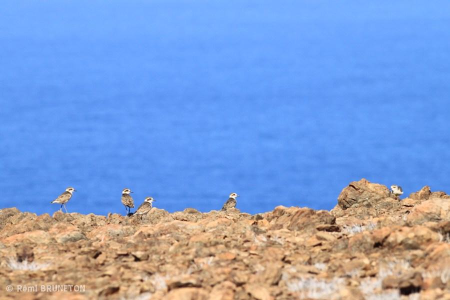 Distinction - Wirebird Flock - Remi Bruneton