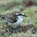 St-Helena-plover-at-its-nest