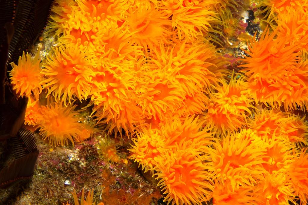 Endemic Orange Cup Coral