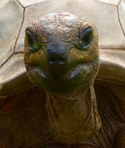Myrtle the Tortoise